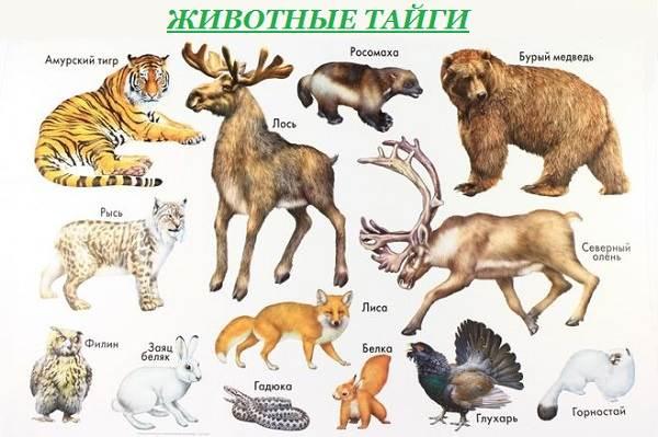 Животные-тайги-Описание-и-особенности-животных-тайги-1