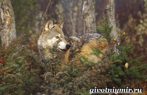 Животные-тайги-Описание-и-особенности-животных-тайги-6