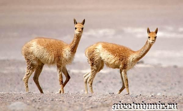 Животные-Южной-Америки-Описание-и-особенности-животных-Южной-Америки-14