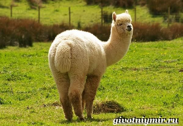 Животные-Южной-Америки-Описание-и-особенности-животных-Южной-Америки-15