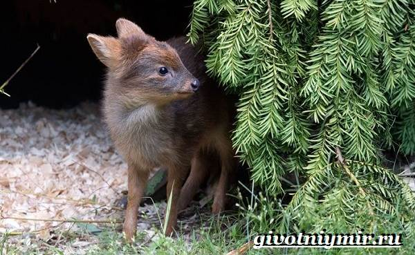 Животные-Южной-Америки-Описание-и-особенности-животных-Южной-Америки-17