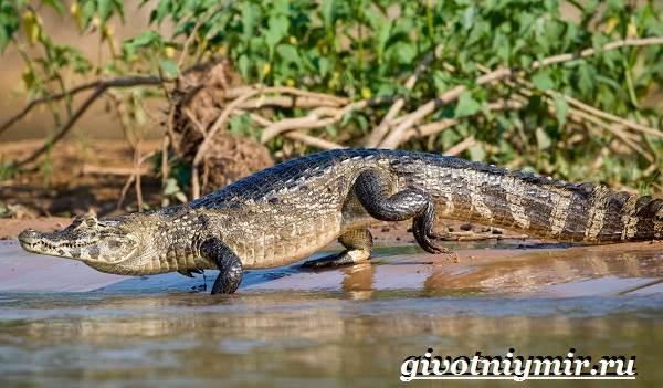 Животные-Южной-Америки-Описание-и-особенности-животных-Южной-Америки-21