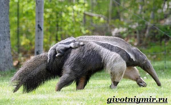 Животные-Южной-Америки-Описание-и-особенности-животных-Южной-Америки-6