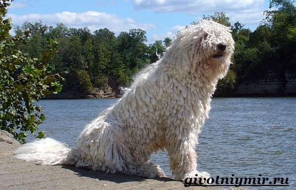 Командор-собака-Описание-особенности-уход-и-цена-породы-командор
