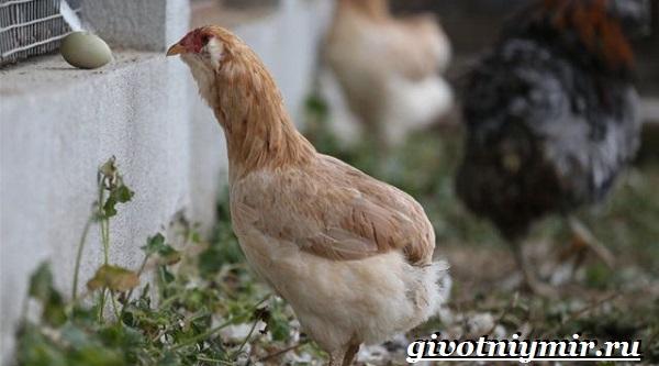 Араукана-порода-кур-Описание-особенности-цена-и-уход-за-курами-араукана-24