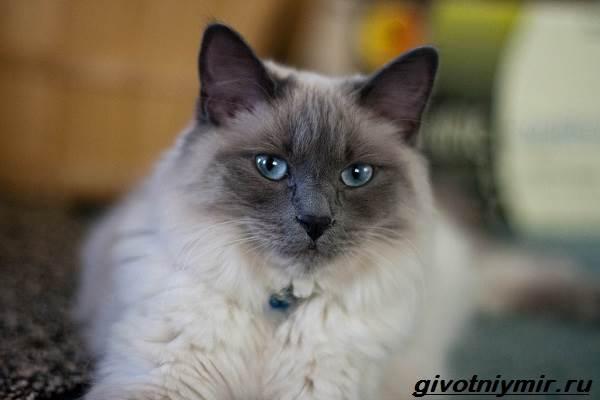 Балинезийская-кошка-Описание-особенности-уход-и-цена-за-балинезийской-кошки-1
