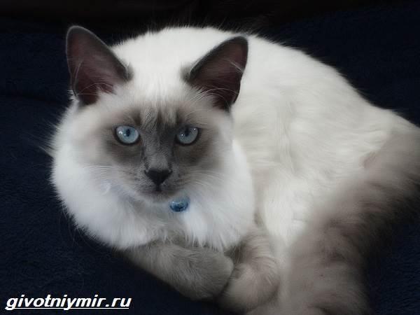 Балинезийская-кошка-Описание-особенности-уход-и-цена-за-балинезийской-кошки-2