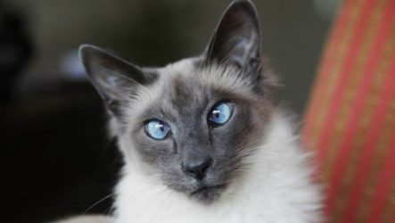 Балинезийская кошка. Описание, особенности, уход и цена за балинезийской кошки