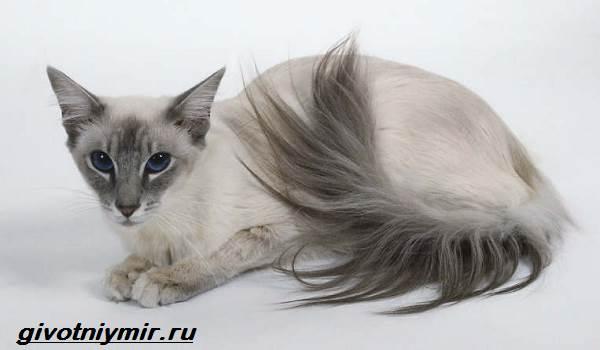 Балинезийская-кошка-Описание-особенности-уход-и-цена-за-балинезийской-кошки-4