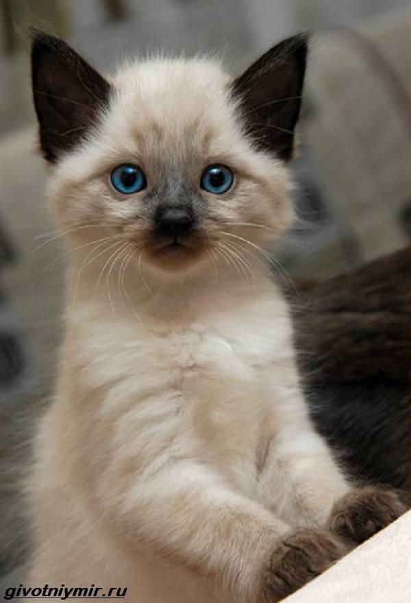 Балинезийская-кошка-Описание-особенности-уход-и-цена-за-балинезийской-кошки-5