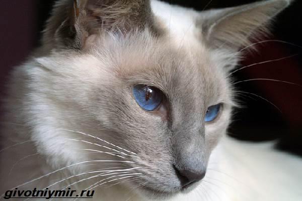 Балинезийская-кошка-Описание-особенности-уход-и-цена-за-балинезийской-кошки-6