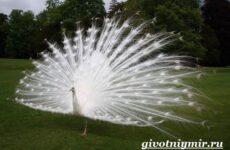 Белый павлин птица. Образ жизни и среда обитания белого павлина