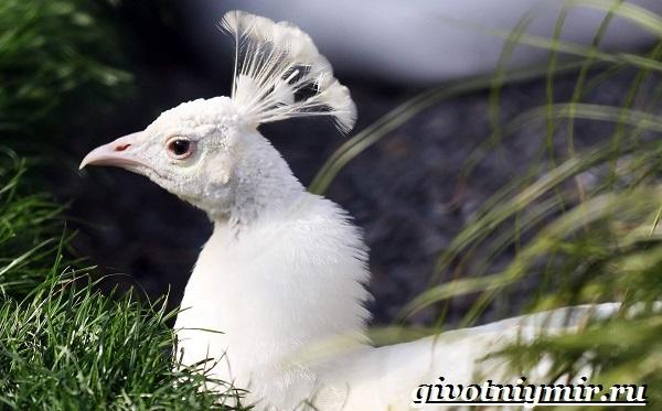 Белый-павлин-птица-Образ-жизни-и-среда-обитания-белого-павлина-22