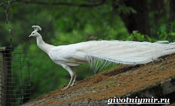 Белый-павлин-птица-Образ-жизни-и-среда-обитания-белого-павлина-23
