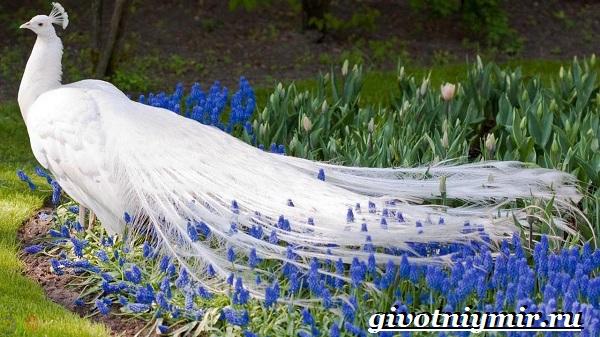 Белый-павлин-птица-Образ-жизни-и-среда-обитания-белого-павлина-28