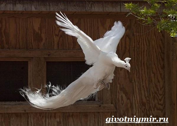 Белый-павлин-птица-Образ-жизни-и-среда-обитания-белого-павлина-6