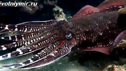 Черная каракатица. Образ жизни и среда обитания чёрной каракатицы