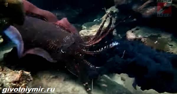 Черная-каракатица-Образ-жизни-и-среда-обитания-чёрной-каракатицы-3