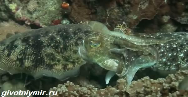 Черная-каракатица-Образ-жизни-и-среда-обитания-чёрной-каракатицы-6