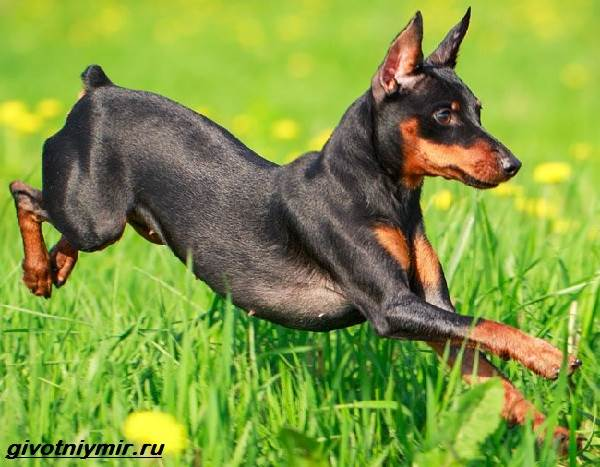 Цвергпинчер-собака-Описание-особенности-цена-и-уход-за-цвергпинчером-1