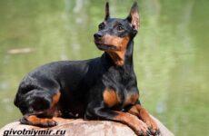 Цвергпинчер собака. Описание, особенности, цена и уход за цвергпинчером
