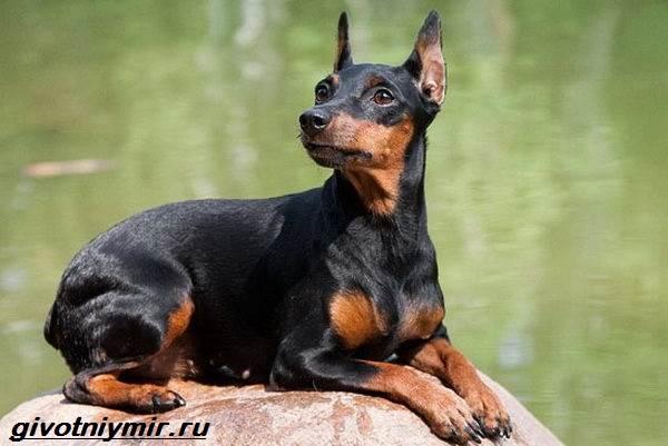 Особенности карликового пинчера: описание породы собак, как выглядит, уход