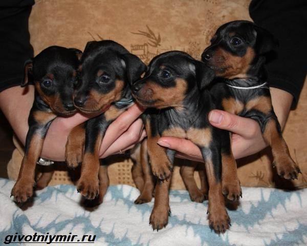 Цвергпинчер-собака-Описание-особенности-цена-и-уход-за-цвергпинчером-3