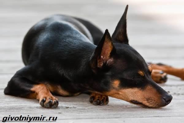 Цвергпинчер-собака-Описание-особенности-цена-и-уход-за-цвергпинчером-5