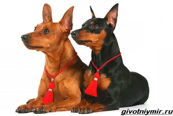Цвергпинчер-собака-Описание-особенности-цена-и-уход-за-цвергпинчером-7