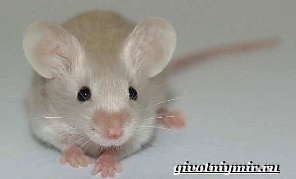 Декоративные-мыши-Описание-особенности-и-уход-за-декоративными-мышами-18