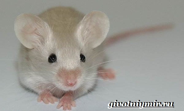 Чем кормить мышку в домашних условиях