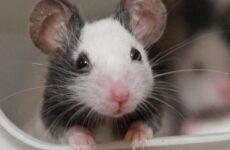 Декоративные мыши. Описание, особенности и уход за декоративными мышами