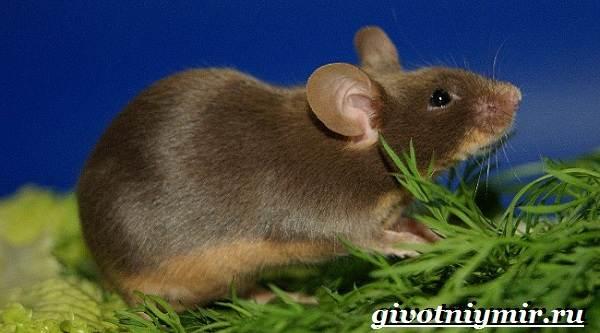Декоративные-мыши-Описание-особенности-и-уход-за-декоративными-мышами-30