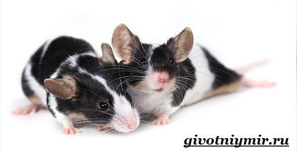 Декоративные-мыши-Описание-особенности-и-уход-за-декоративными-мышами-31