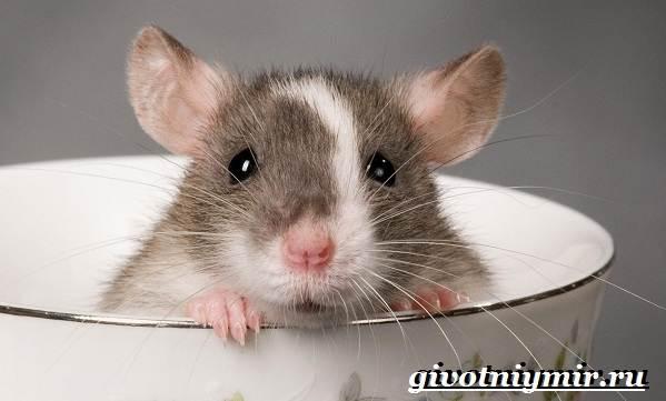 Декоративные-мыши-Описание-особенности-и-уход-за-декоративными-мышами-32