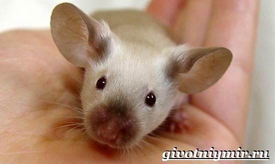 Декоративные-мыши-Описание-особенности-и-уход-за-декоративными-мышами-34