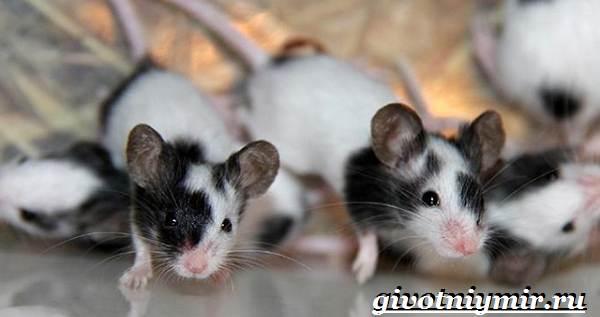 Декоративные-мыши-Описание-особенности-и-уход-за-декоративными-мышами-36