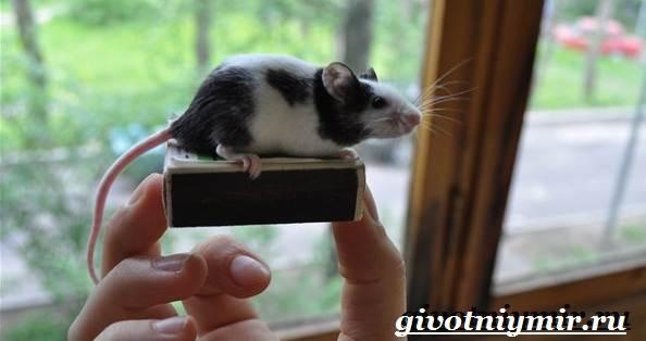 Декоративные-мыши-Описание-особенности-и-уход-за-декоративными-мышами-37