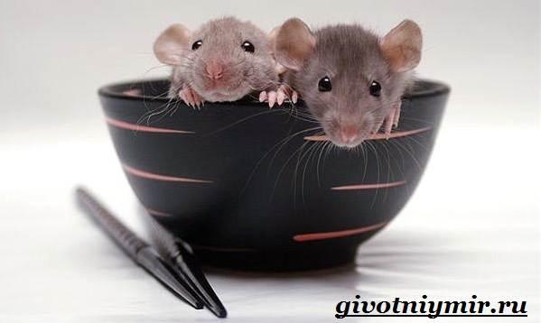 Декоративные-мыши-Описание-особенности-и-уход-за-декоративными-мышами-38