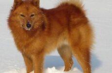 Финский шпиц собака. Описание, особенности, уход и цена финского шпица