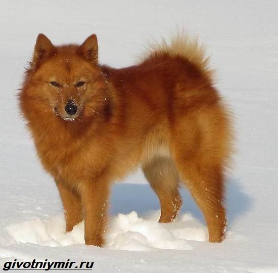 Финский-шпиц-собака-Описание-особенности-уход-и-цена-финского-шпица-1