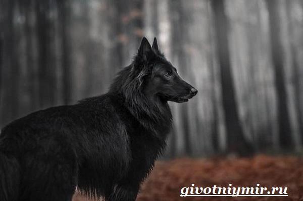 Грюнендаль-собака-Описание-особенности-уход-и-цена-породы-грюнендаль-11