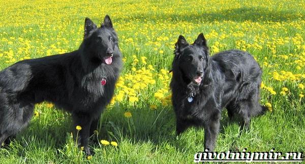 Грюнендаль-собака-Описание-особенности-уход-и-цена-породы-грюнендаль-12