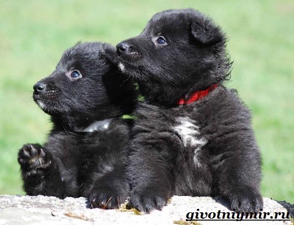 Грюнендаль-собака-Описание-особенности-уход-и-цена-породы-грюнендаль-13