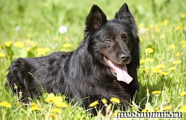 Грюнендаль-собака-Описание-особенности-уход-и-цена-породы-грюнендаль-15