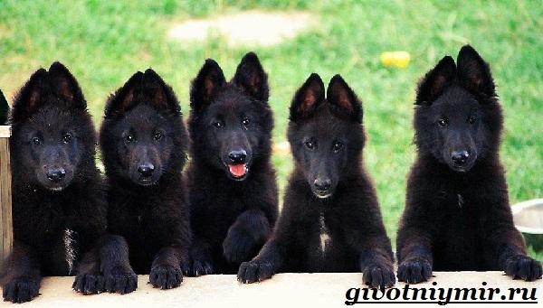 Грюнендаль-собака-Описание-особенности-уход-и-цена-породы-грюнендаль-2