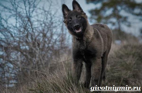 Грюнендаль-собака-Описание-особенности-уход-и-цена-породы-грюнендаль-4