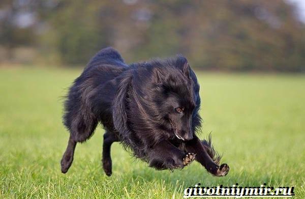 Грюнендаль-собака-Описание-особенности-уход-и-цена-породы-грюнендаль-5
