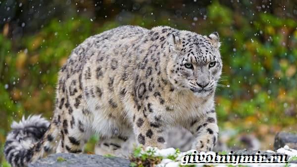 Ирбис-животное-Образ-жизни-и-среда-обитания-ирбиса-19