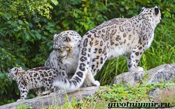Ирбис-животное-Образ-жизни-и-среда-обитания-ирбиса-4